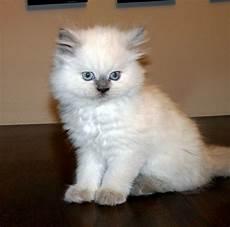 himalayan cats himalayan kitten gallery himalayan kittens
