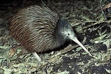 Fakta Unik Burung Kiwi Selandia Baru Yang Tidak Bisa