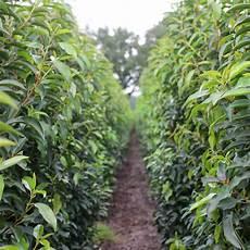 Container Grown Portuguese Laurel Hedge Plants Prunus