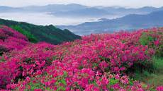 Flower Valley Wallpaper by Bright Pink Flowers In The Mountains Hd Desktop Wallpaper