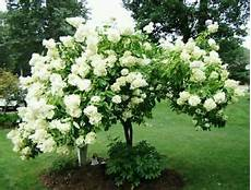 Arbre Hydrangea Hardy Croissance Rapide Arbuste Arbre