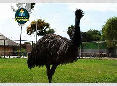 Emu. Ave corredora muy veloz. Posee un cuello largo, patas