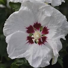 Hibiscus Syriacus Plantes Et Jardins