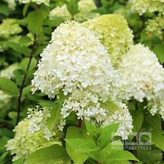 Hydrangea Paniculata Limelight Mail Order Trees