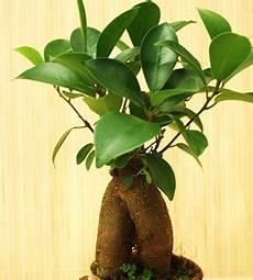 Ginseng Baum Pflege - zimmerbonsai arten pflanzen f 252 r nassen boden