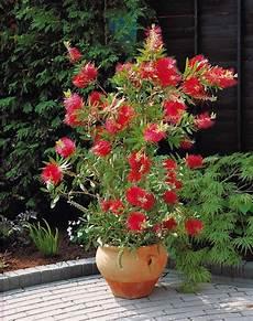 Rince Bouteille Callistemon Laevis Arbuste Persistant