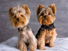 top 35 latest yorkie haircuts pictures yorkshire terrier haircuts