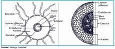Laporan Praktikum Struktur Jaringan Pada Tumbuhan