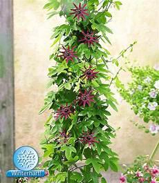winterharte passionsblume quot ladybirds quot 1 pflanze