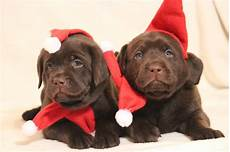 merry christmas chocolate lab puppies lab puppies chocolate lab puppies chocolate lab