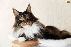 cat breed the uk s most popular cat breeds in 2017 pets4homes