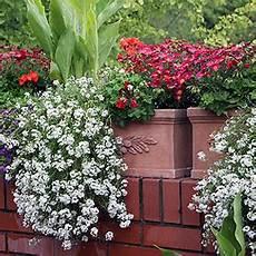 Balkonpflanzen Winterhart Sonnig Schau Unter Die Haube