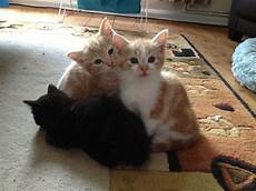 kittens for sale kittens for sale chipping norton oxfordshire