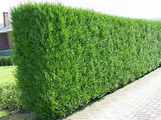 thuja hecke pflanzen 12x thuja plicata evergreen hedge plants western