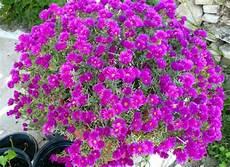 Pourpier D Ornement Une Fleur Solide Pour Rocaille