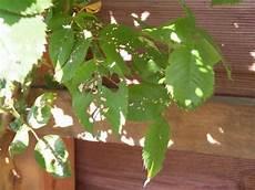 löcher in rosenblättern mini raupen perforieren rosenbl 228 tter mein sch 246 ner