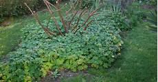 Plante Vivace Couvre Sol Pivoine Etc