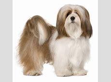 Lhasa Apso   Hond te KoopHond te Koop