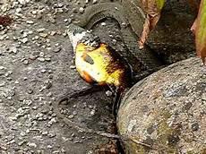 ringelnatter versucht gro 223 en fisch zu verschlingen