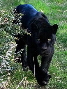 jaguar animal noir black jaguar flickr photo