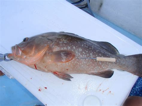 venting grouper tool gulf snapper mexico changes