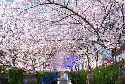 Cherry Japan Blossom Blossoms Wallpapers Japanese Backgrounds