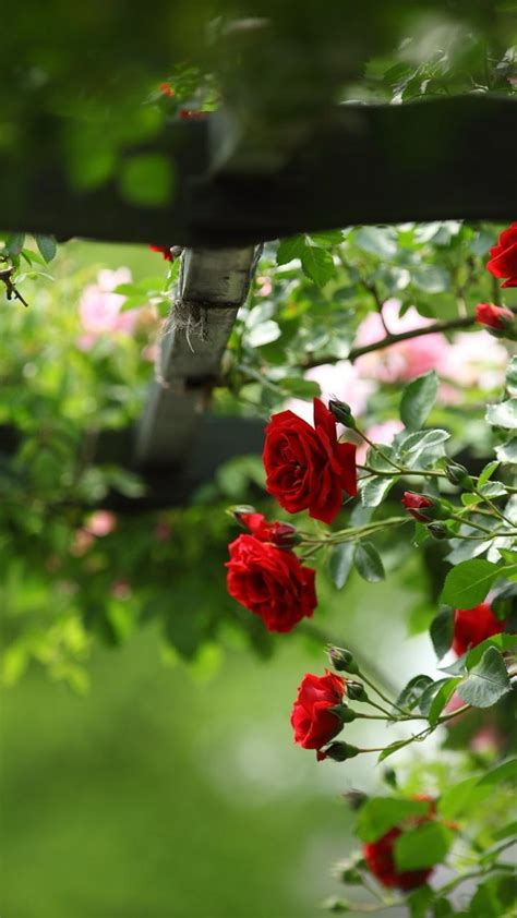nature flowers roses red rose wallpaper