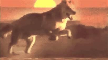 Breeds Wolfdog Dingo Dog Traits Physical Dogs