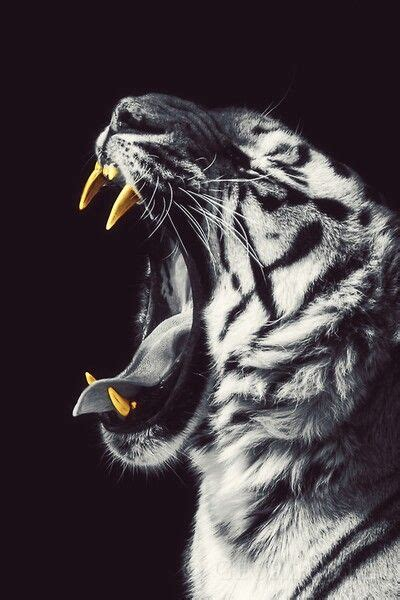 Tiger Gold Teeth Into The Wild Animals Big