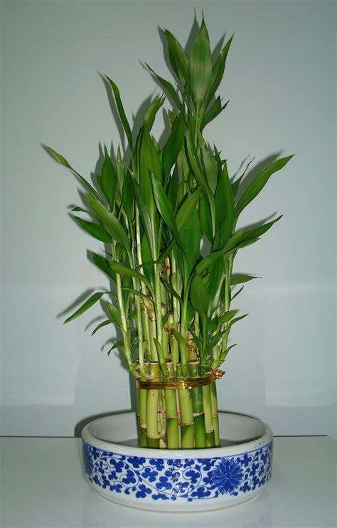 bamboo plants bamboo plant