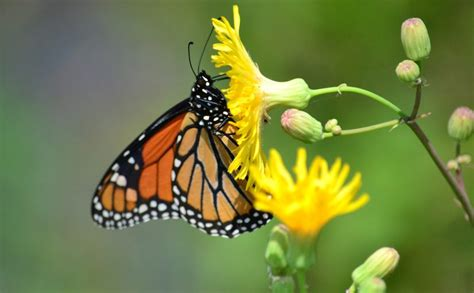 iconic species monarch butterflies