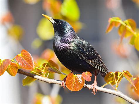 get rid of european starlings common starlings control