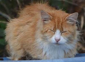Napping Orange Fluff | The Feral Life Cat Blog