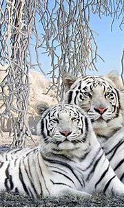 White Tiger Desktop Backgrounds - Wallpaper Cave