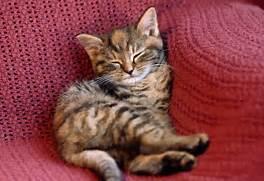 Torbie Cat Cat 03 gr0886 01 - torbie  Torbie Cat