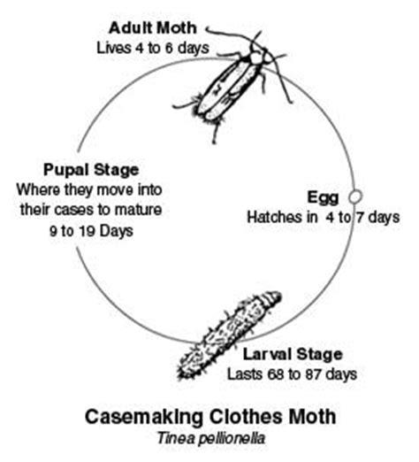 Cycle Of A Pantry Moth Bearing Carpet Moths Tinea Pellionella Moth