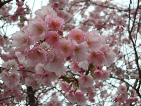 ornamental japanese cherry tree ornamental cherry cherry blossom japanese cherry trees free stock photos in jpeg jpg