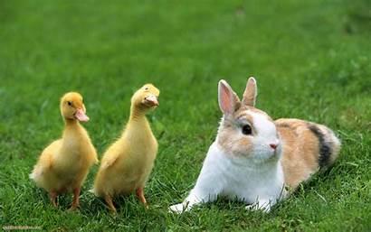 Rabbit Wallpapers Animals Animal Bunny Rabbits Duck