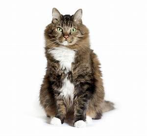 Maine Coon Mix Cat Sitting stock image. Image of brown ...