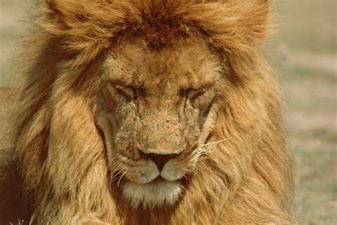 serengeti lions distemper sick domesticated dogs carnivore disease project canine virus
