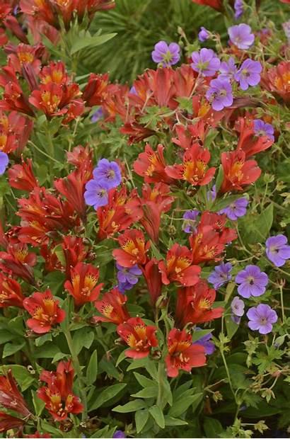 Alstroemeria Inca Joli Lily Peruvian Accueil Decouvrir