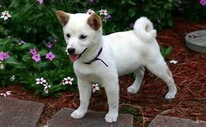Laisser Un Chien Seul Quand On Travaille : le shiba inu chien renard caract re origine conseils d 39 levage sant ~ Medecine-chirurgie-esthetiques.com Avis de Voitures