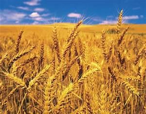 Wheat | plant | Britannica.com