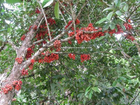gambar mewarnai buah belimbing