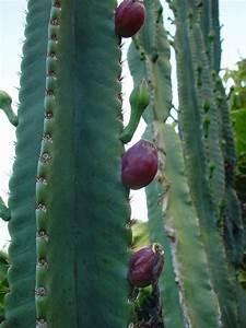 Cactus Sans Epine : caribfruits pomme cactus fruits tropicaux ~ Melissatoandfro.com Idées de Décoration
