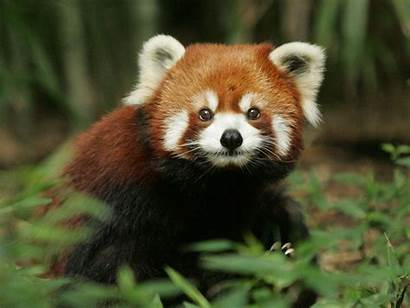Panda Background Desktop Nature Wallpapers Pandas Px