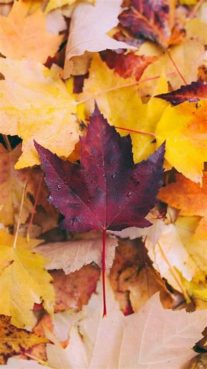 Leaves Autumn Maple Fallen Yellow 4k Iphone