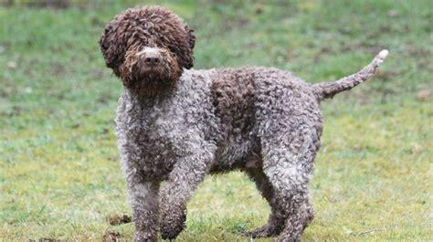 dog breeds  dont smell barking royalty