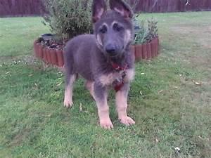 german shepherd blue and tan girl | Ashford, Kent | Pets4Homes