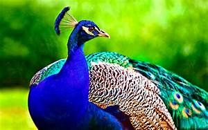 Most Beautiful Peacock HD Wallpapers | Full HD 1080p – HD ...